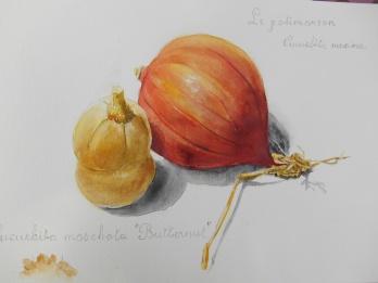 Potimaron et Butternut aquarelle 30x40