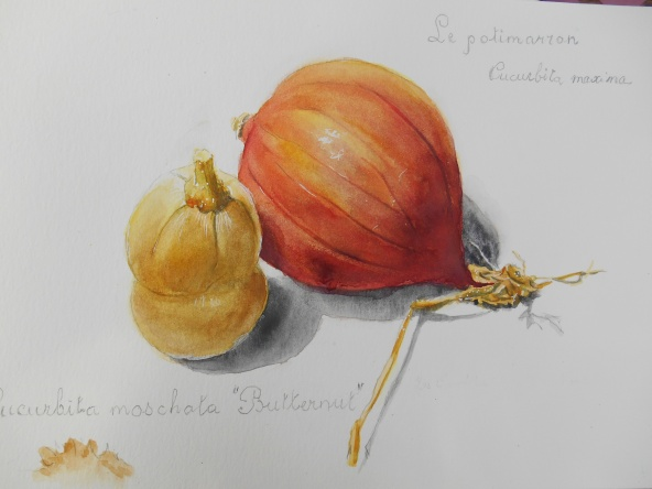 Potimaron et Butternut aquarelle 30x40